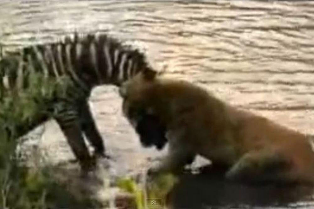 Η ζέβρα «ταπείνωσε» τη λέαινα (video)
