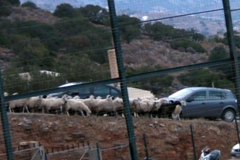 Όταν τα… πρόβατα βλέπουν μπάλα! (video)