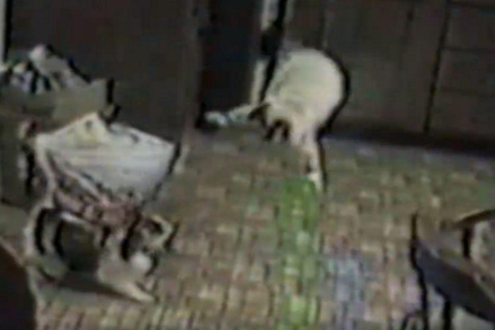 Όταν οι γάτες… τα κάνουν πάνω τους! (video)