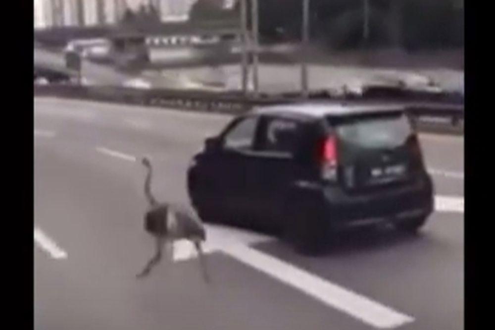 Στρουθοκάμηλος εμφανίζεται σε κεντρική λεωφόρο και κάνει τη μία σφήνα πίσω από την άλλη (video)