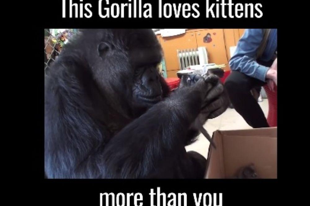 Ο θηλυκός γορίλας Κόκο τρελαίνεται να παίζει με γατάκια! (videos)