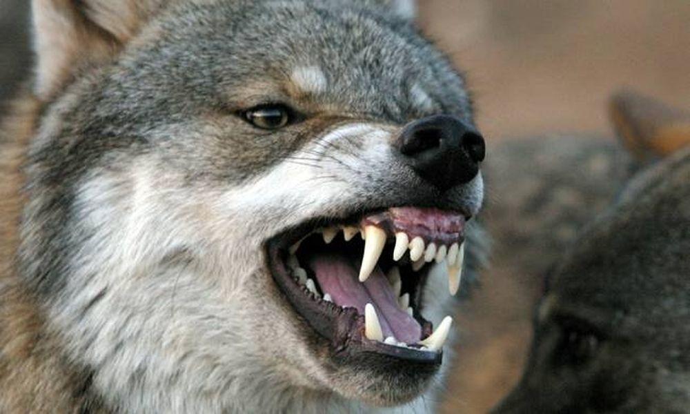 Τρόμος στην Kαστοριά - Επίθεση λύκου σε σπίτι