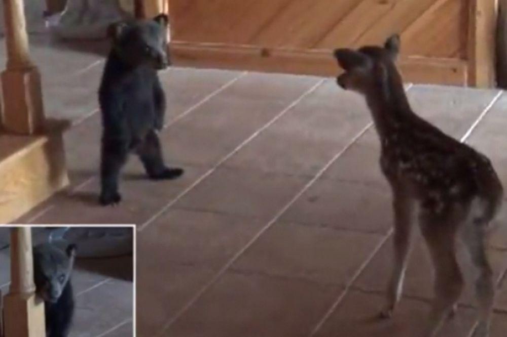 Ελαφάκι συναντά για πρώτη φορά αρκουδάκι και δείτε την αντίδραση τους! (vid)