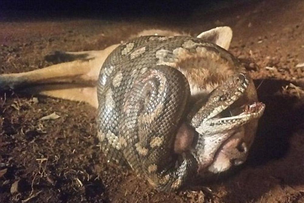 Σκληρές εικόνες! Πύθωνας στραγγάλισε αλεπού που του επιτέθηκε! (photos)