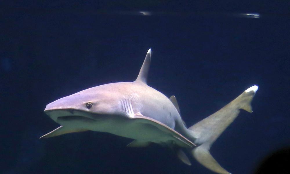Τρομακτικό βίντεο: Καρχαρίας επιτέθηκε σε σέρφερ αλλά μάλλον το… μετάνιωσε!
