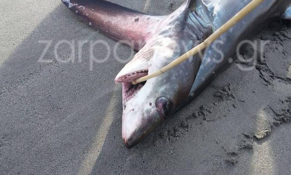 Καρχαρίας τριών μέτρων στην Ελλάδα - Δείτε σε ποια περιοχή εντοπίστηκε! (photos)