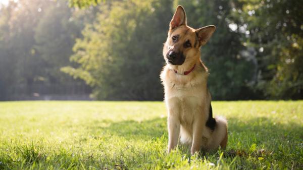 Γιατί ο σκύλος σου γέρνει το κεφάλι του όταν του μιλάς;